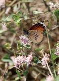 Африканский монарх на acutum Cynanchum Стоковые Изображения