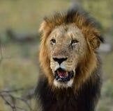 Африканский мужской лев Южная Африка Стоковое фото RF