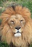 Африканский мужской лев 3 Стоковые Фото