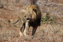 африканский мужчина льва Стоковое Фото