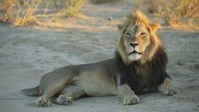 африканский мужчина льва видеоматериал