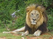 африканский мужчина lion1 стоковое изображение rf