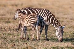 Африканский младенец и мать зебры на сухих коричневых злаковиках саванны просматривая Стоковые Изображения RF