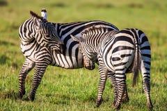 Африканский младенец и мать зебры на сухих коричневых злаковиках саванны просматривая, Стоковая Фотография