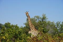 Африканский национальный парк Kruger жирафа в голове глуши Стоковые Фото