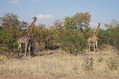 Африканский национальный парк Kruger жирафа в голове глуши Стоковые Изображения RF