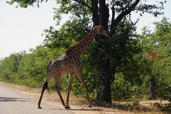 Африканский национальный парк Kruger жирафа самостоятельно в глуши стоковое изображение rf