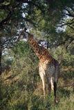 Африканский национальный парк Kruger жирафа самостоятельно в глуши Стоковая Фотография RF
