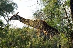 Африканский национальный парк Kruger жирафа самостоятельно в глуши Стоковое Изображение