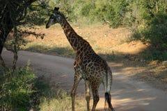 Африканский национальный парк Kruger жирафа самостоятельно в глуши Стоковые Фото