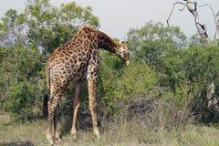 Африканский национальный парк Kruger жирафа самостоятельно в глуши Стоковые Изображения RF