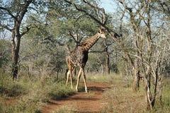 Африканский национальный парк Kruger жирафа Стоковое фото RF
