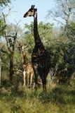 Африканский национальный парк Kruger жирафа Стоковые Фотографии RF