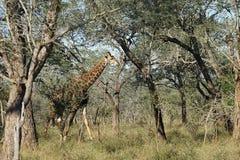Африканский национальный парк Kruger жирафа Стоковые Изображения RF