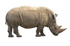 африканский носорог Стоковое Изображение RF