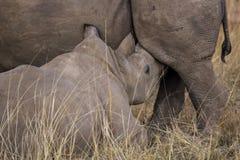 африканский носорог Стоковое фото RF