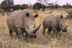 африканский носорог Стоковые Фото