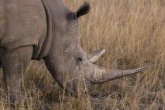 африканский носорог Стоковое Фото