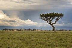 африканский один вал саванны Стоковое Изображение