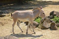 Африканский одичалый ишак или африканский одичалый осел Стоковая Фотография