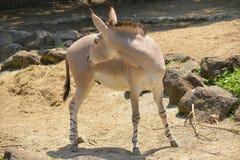 Африканский одичалый ишак или африканский одичалый осел Стоковое фото RF