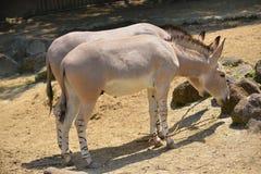 Африканский одичалый ишак или африканский одичалый осел Стоковые Изображения RF