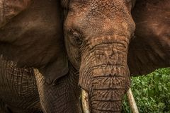 Африканский одичалый конец слона вверх вышесказанного Танзания Стоковое Фото