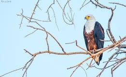 Африканский орел рыб в раннем утре стоковые изображения rf