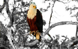 Африканский орел рыб представляя на ветви Стоковые Фотографии RF