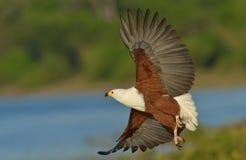 Африканский орел рыб принимает  Стоковое Фото