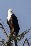 Африканский орел рыб сидя на сухой ветви дерева на береге  Стоковые Фотографии RF