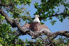 Африканский орел рыб стоковое фото