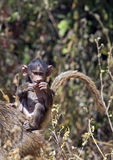 Африканский павиан младенца Стоковое Изображение RF