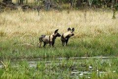 Африканский пакет дикой собаки в действии Стоковое Изображение
