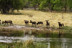 Африканский пакет дикой собаки в действии Стоковое Фото