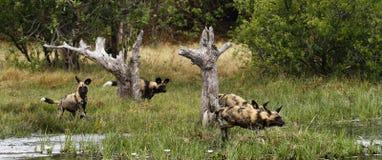 Африканский пакет дикой собаки в действии Стоковые Изображения