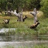 Африканский пакет дикой собаки в действии Стоковое Изображение RF