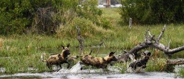 Африканский пакет дикой собаки в действии Стоковая Фотография RF