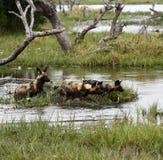 Африканский пакет дикой собаки в действии Стоковые Фотографии RF