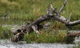 Африканский пакет дикой собаки в действии Стоковое фото RF