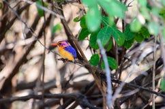 африканский пигмей kingfisher Стоковые Изображения