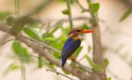 Африканский Пигме-kingfisher садить на насест на ветви стоковое изображение rf