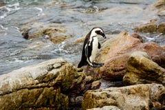 Африканский пингвин в среднем воздухе Стоковое Фото