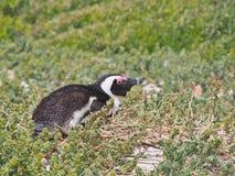 Африканский пингвин лежа вниз на том основании Стоковое Изображение