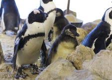 Африканский пингвин и пингвин jackass цыпленока Стоковое Изображение