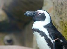 Африканский пингвин на Ванкувере Acquarium, ДО РОЖДЕСТВА ХРИСТОВА Стоковые Изображения