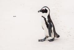 Африканский пингвин на пляже валунов Стоковые Фотографии RF