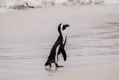 Африканский пингвин на пляже валунов Стоковое Фото