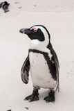 Африканский пингвин на пляже валунов Стоковые Фото