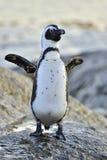 Африканский пингвин на seashore африканский spheniscus пингвинов demersus Стоковое Фото